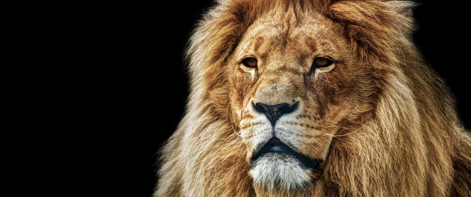 Lions United - King of the jungle